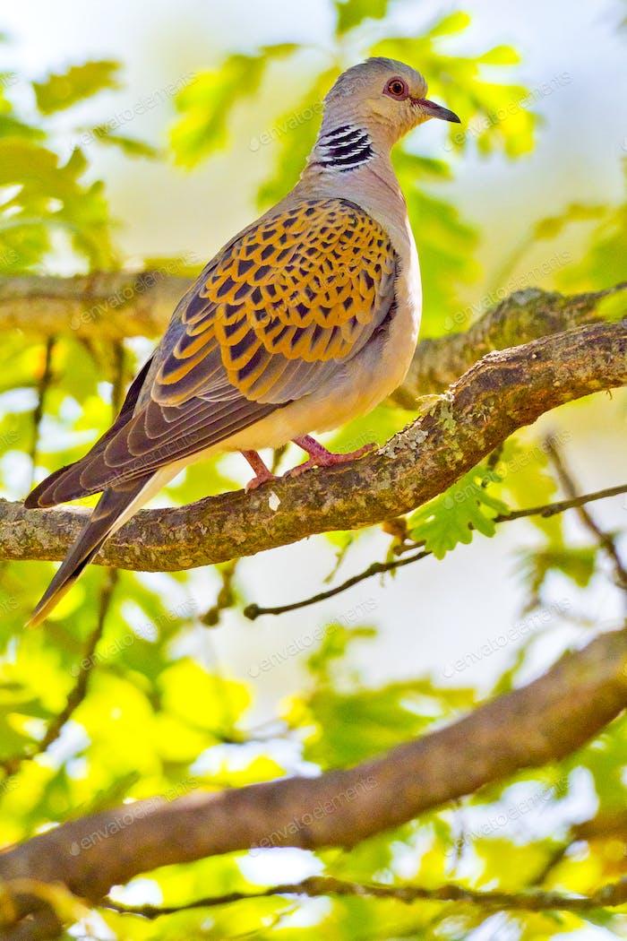 Collared Dove, Forest Pond, Mediterranean Forest, Spain