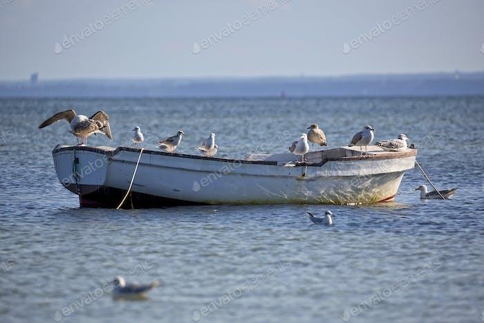 Herring Gulls on the boat