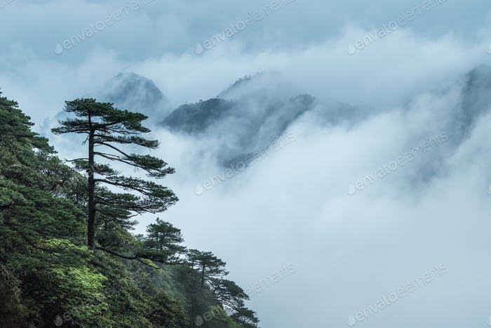greeting pine in cloud fog