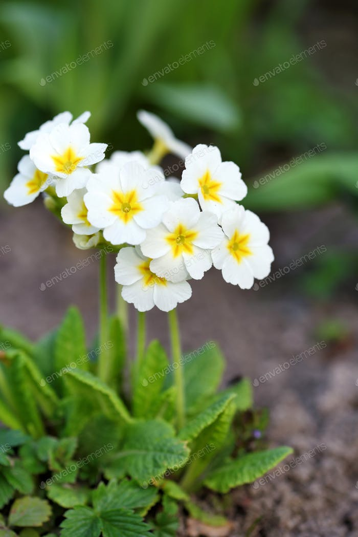 Spring flowers of Primula juliae (Julias Primrose) or white prim
