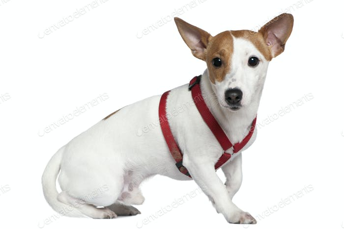 Jack Russell terrier in collar, 2 years old, sitting in front of white background