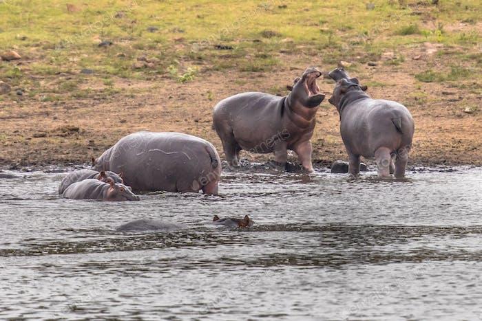 Hippopotamus group