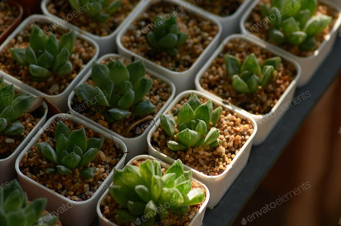 The potted succulents in the garden