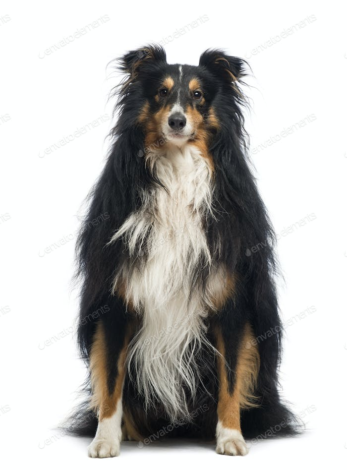 Shetland Sheepdog, 4 years old, sitting and looking at the camera in front of white background