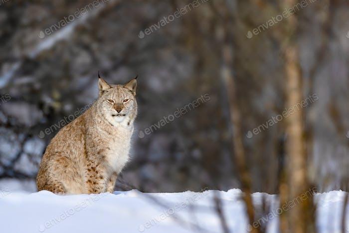 Portrait of Eurasian lynx on snow in nature