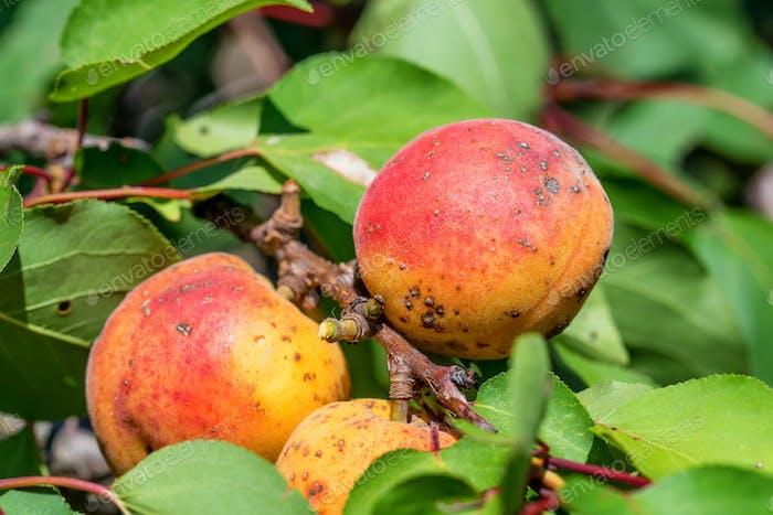 Ripe fruits on a wild apricot tree