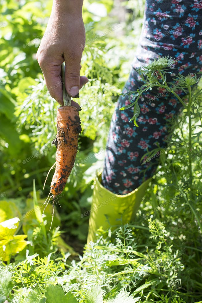 Harvest carrots in the garden