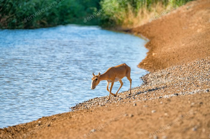 Saiga at a watering place drinks water during strong heat and drought