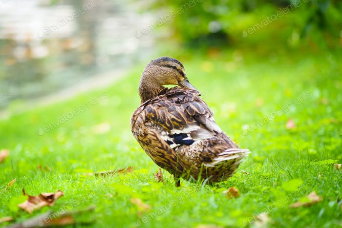 Duck standing near a pond on a grass background