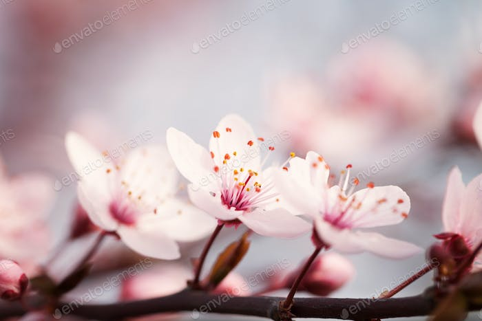 Blossoming branch plums