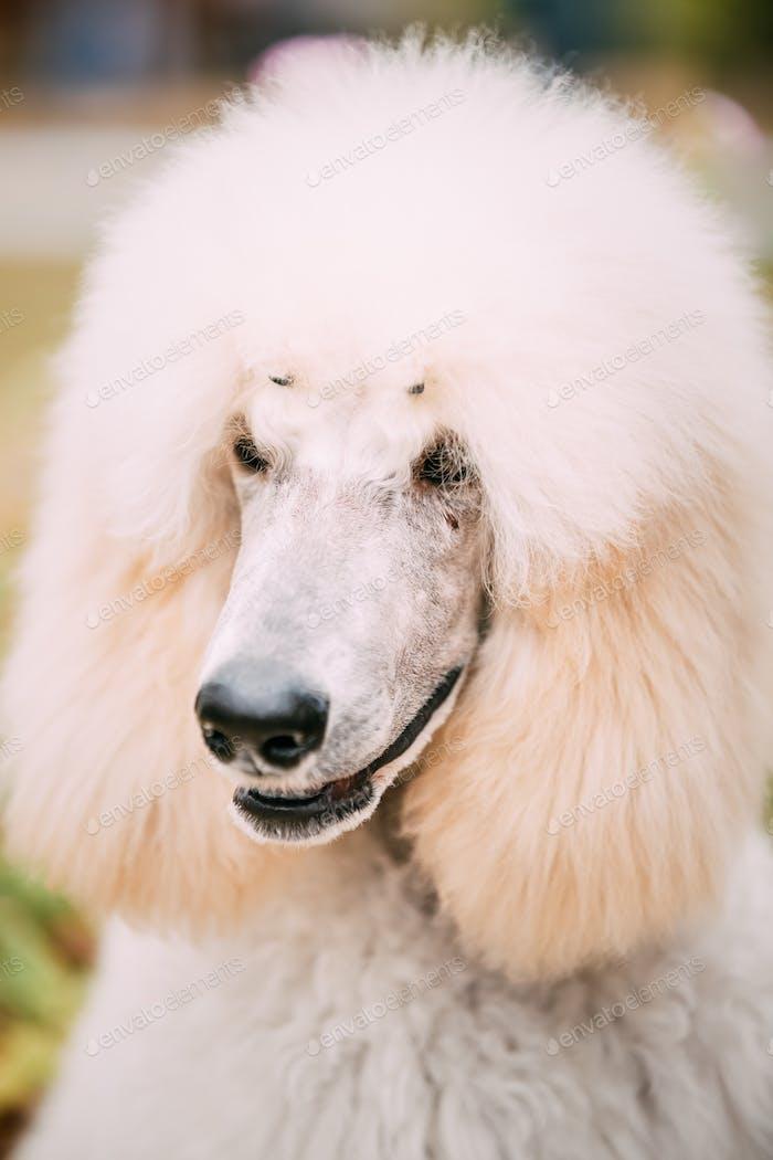 White Poodle Dog Close Up Portrait