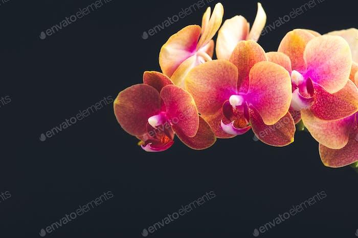 Orange Phalaenopsis Orchid Plant