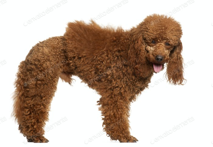 Poodle, 1 year old, standing in front of white background