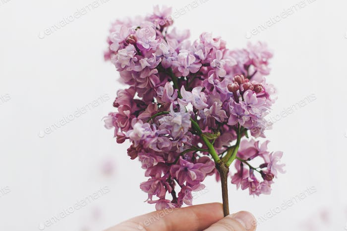 Hand holding beautiful lilac branch on white  background in soft light,  space for text