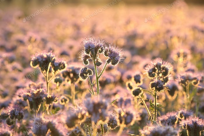 Lacy phacelia in the field at sunrise