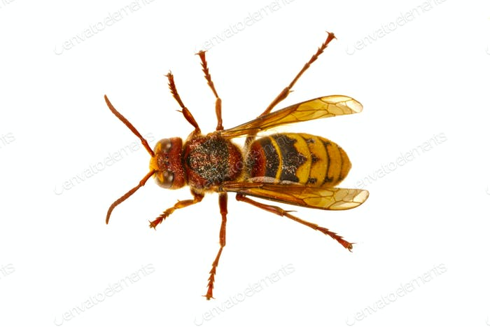 European hornet (Vespa) on a white background