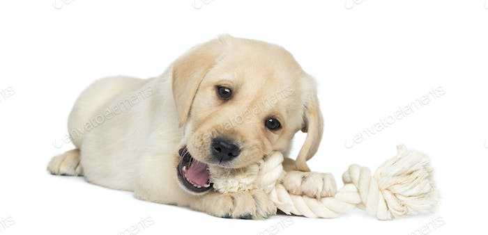 Labrador Retriever Puppy, 2 months old, lying and chewing a rope toy, isolated on white