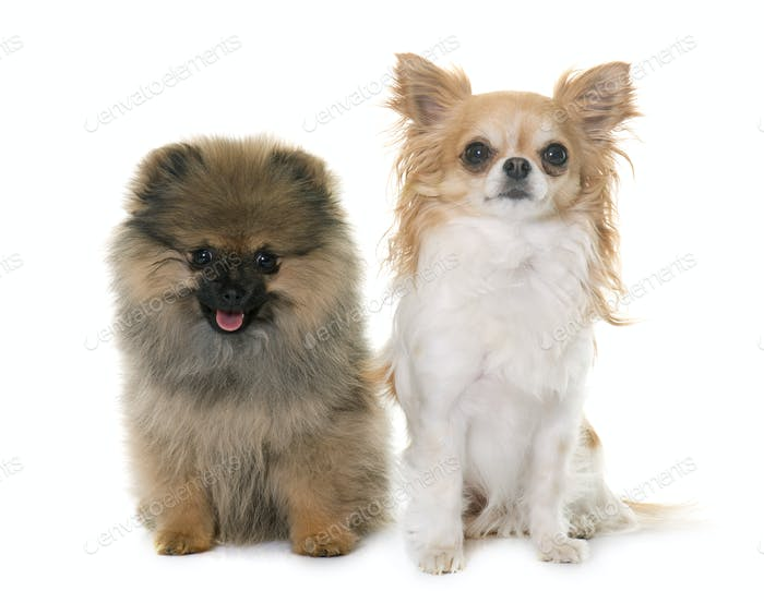 puppy pomeranian spitz and chihuahua