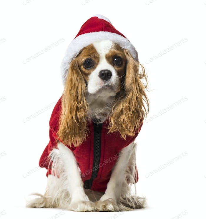 Cavalier King Charles Spaniel in Santa dog coat against white background