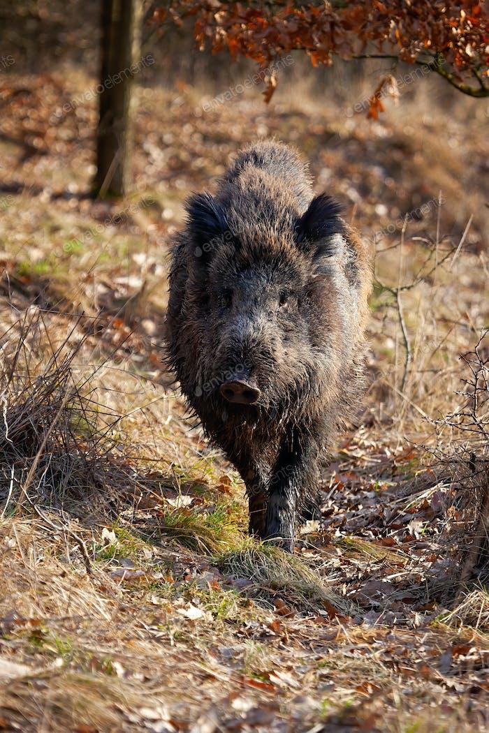 Starkes Wildschwein Wandern auf einem Pfad im Frühling Natur bei Sonnenaufgang