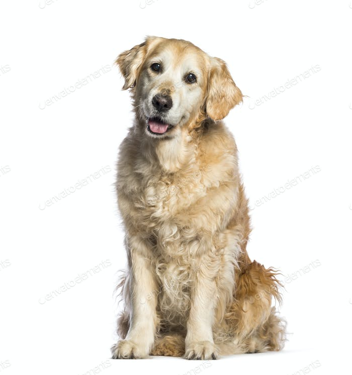 Golden Retriever, 12 years old sitting in front of white background
