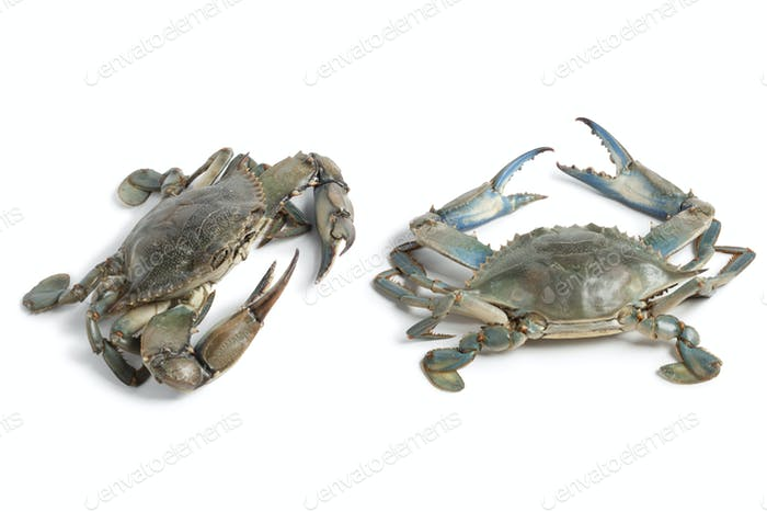 Two blue crabs