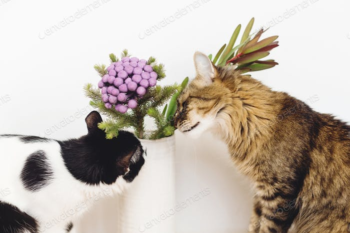 Cute cat smelling Brunia plant on white background with copy space