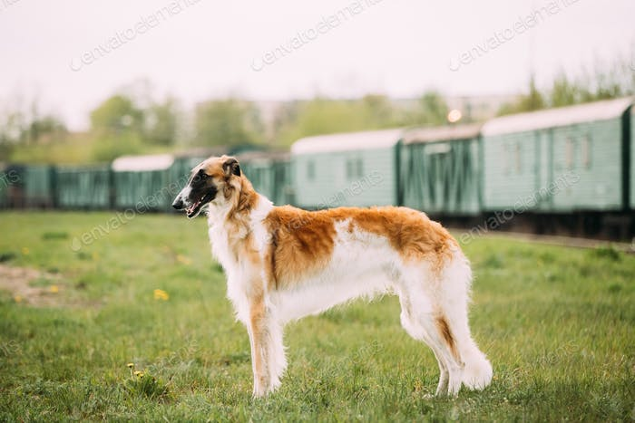 Russian Dog, Borzoi Gazehound Posing Outdoor