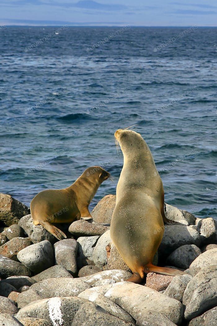 Galápagos Sea Lion, Galápagos National Park, Ecuador