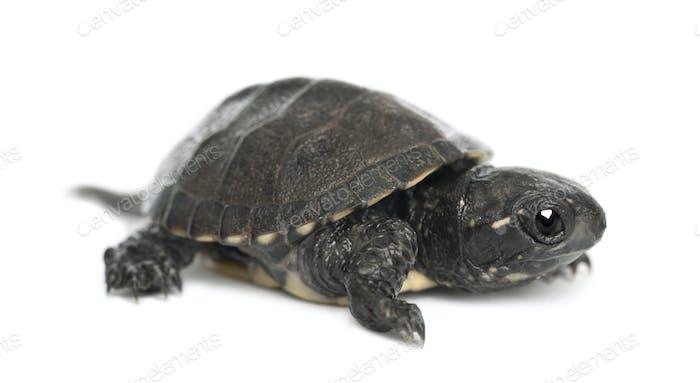 European pond turtle, also called the European pond terrapin, Emys orbicularis, 6 months old