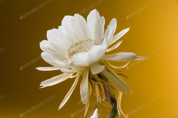 Saussurea Obvallata Or Brahma Kamal flower