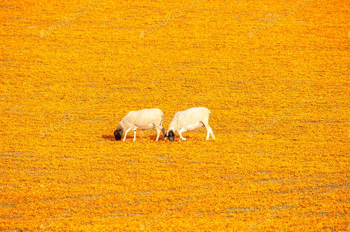 Sheep in a carpet of indigenous flowers at Arkoep