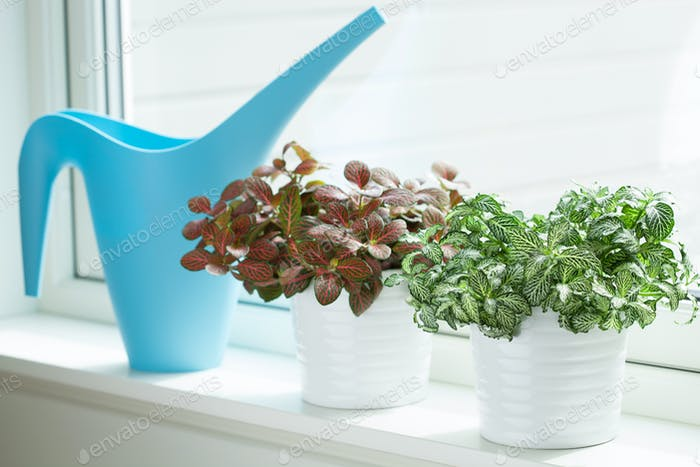 houseplant fittonia albivenis in white pot