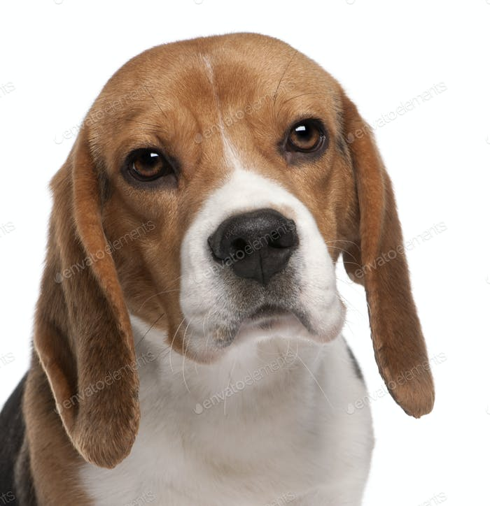 Close-up of Beagle, 1 year old, in front of white background