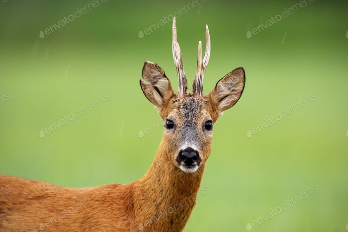 Close up of attentive roe deer buck standing on a meadow in summer