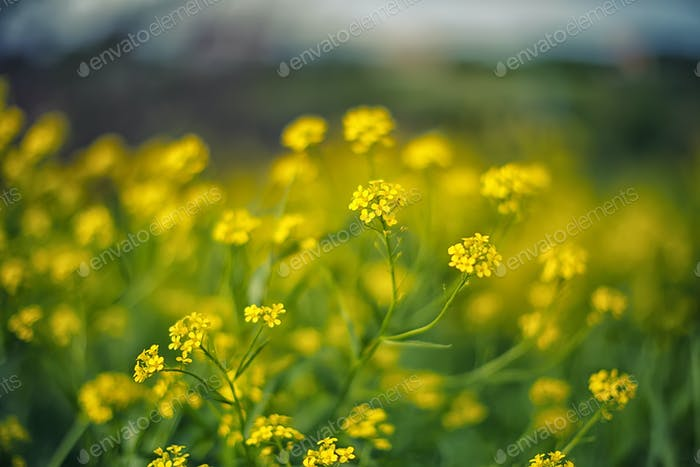 delicate yellow flowers background