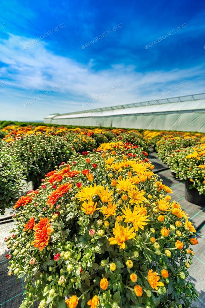 Chrysanthemum-Blüten blühen