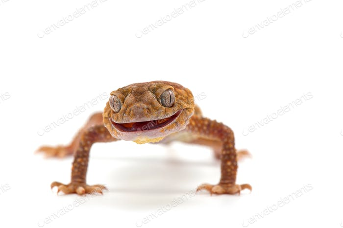 The knob-tailed gecko  isolated on white background