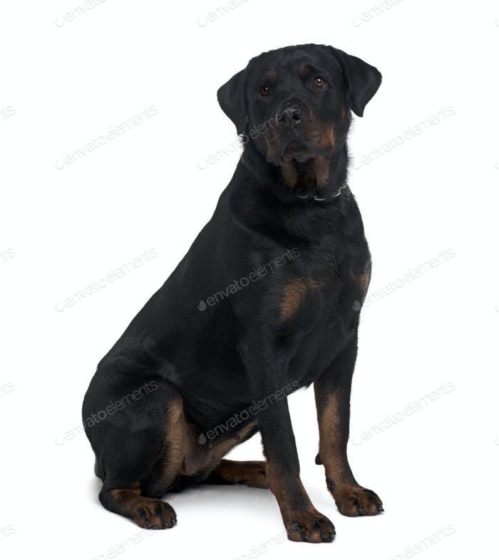 Rottweiler, 2 years old, sitting in front of white background