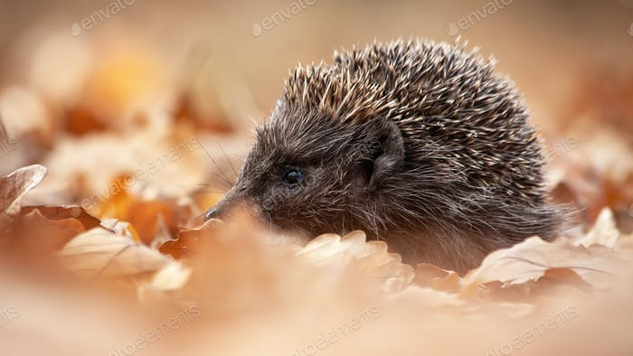 European hedgehog, erinaceus europaeus, sniffing in autumn forest