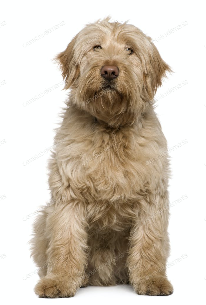 Mixed-breed dog, 8 months old, sitting in front of white background