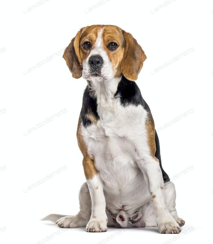 Beagle dog sitting against white background