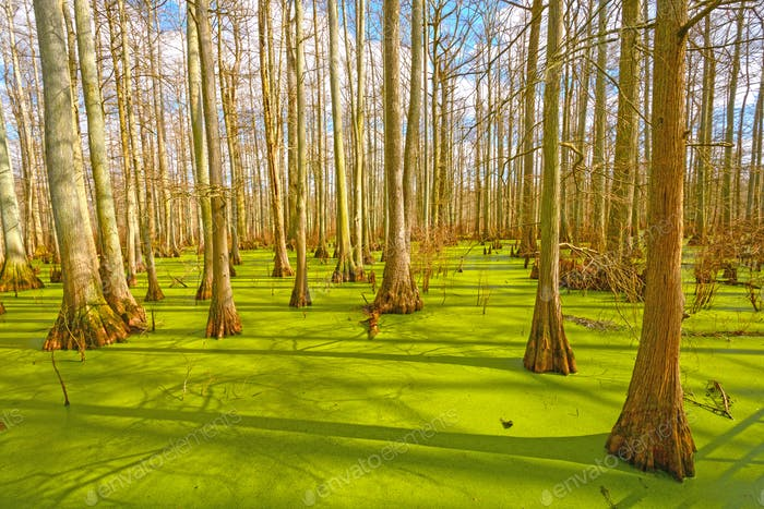 Cypress Trees in Spring Light