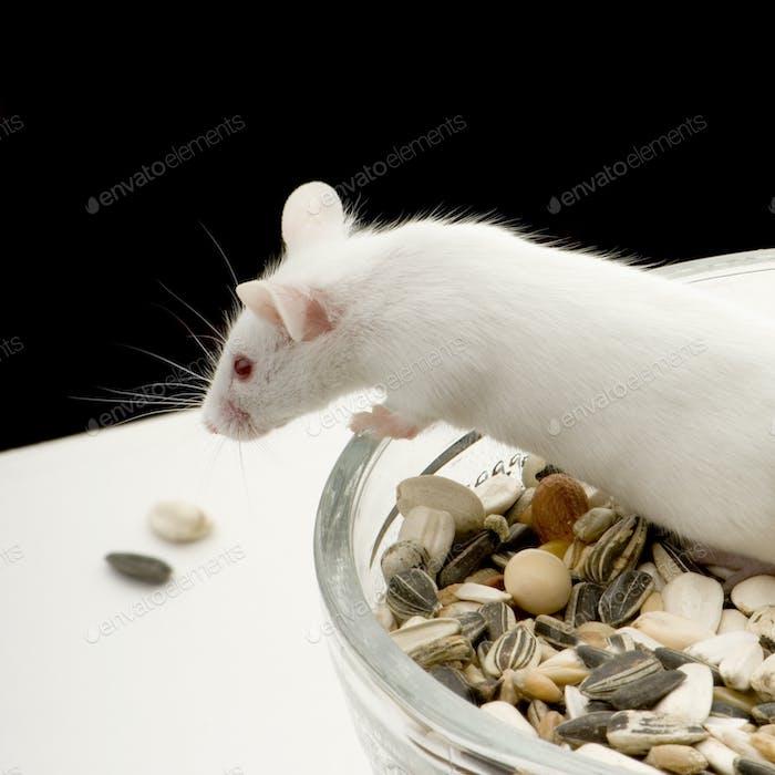 Weiße Maus