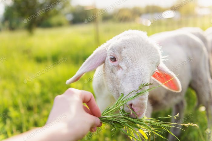 Detail of mans hand feeding sheep with grass. Sunny meadow.