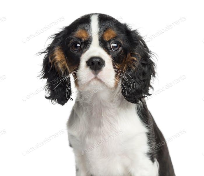 Close-up of a Cavalier King Charles, 3 months old, isolated on white