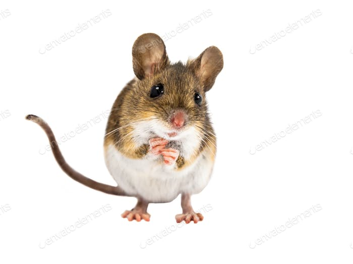 Cute Field Mouse standing on white background