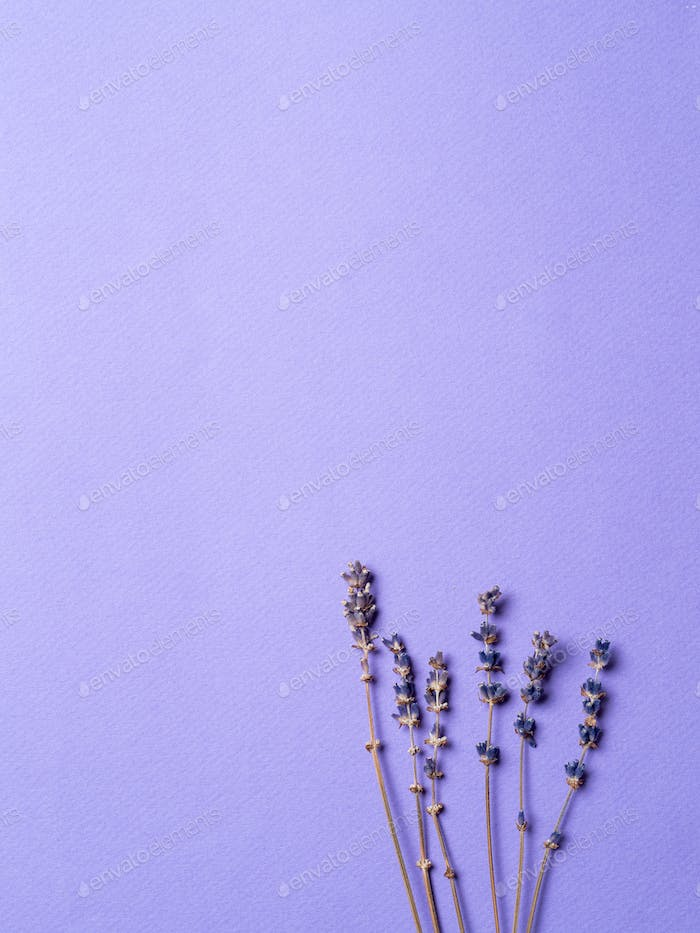 violet lavender flowers on bright purple background