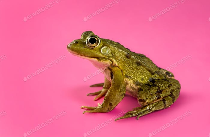 Common Water Frog in front of a pink background