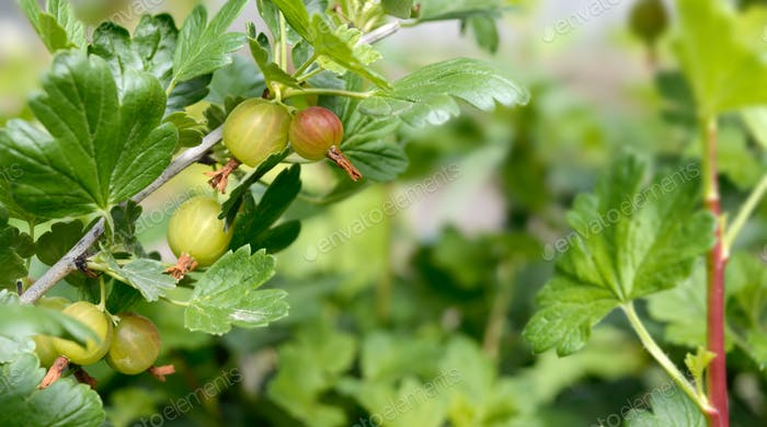 Gooseberry berries on the branches